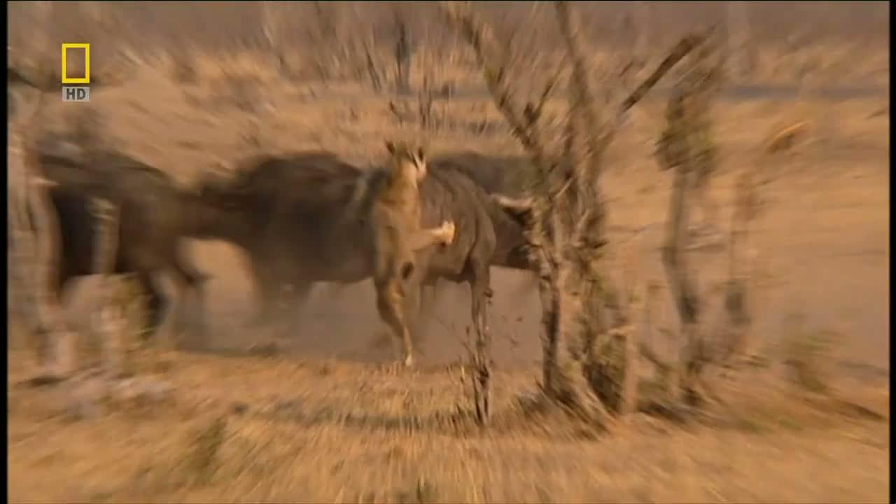 Resimleri afrika aslanları videosu 8