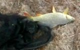 sazan balığı suya iade