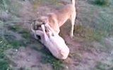 konya eregli savaş karakaya köpek boguşu 2