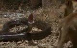 vahşi yaşam -aslan yavrusu ve  piton