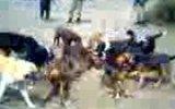 domuz avı 05/02/2012 (bolu)