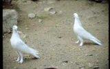 taklacı  güvercinler