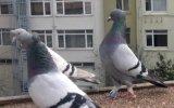 güvercin.taklacı oyun kuşu mavi arkatepelerim,,FERDİ BAYRAK,,TRABZONLU
