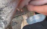 Çılgın Kedinin Taze Süt Keyfi!
