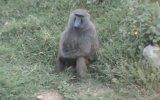 Abaza Maymun 31 Çekiyor Azmış Maymun.MP4