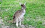 Kanguruların Eğlenceli ve Komik Halleri