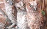 Baykuşlar Kamera Görürse