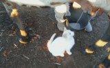 Taze Sütü Seven Kedi