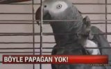 Mükemmel Konuşan Papağan